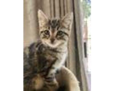Adopt Carrie a Domestic Shorthair cat in Calimesa, CA (31567777)