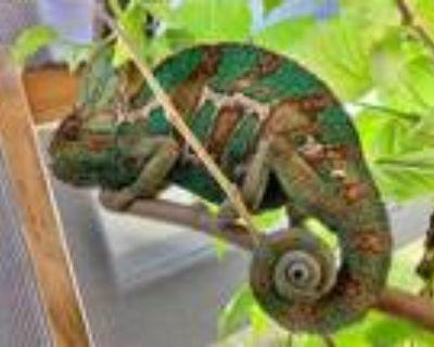 Adopt Javier a Chameleon