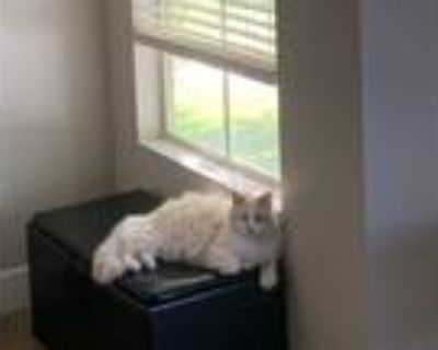 """Adopt Polar """"Bear"""" a White Maine Coon / Mixed (long coat) cat in Tempe"""