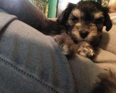 Mini poodle mix puppies