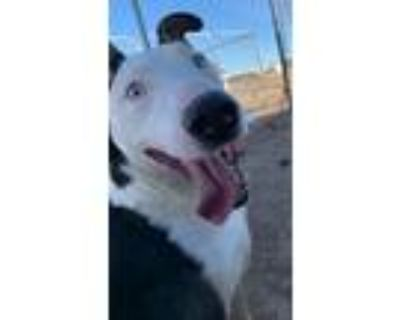 Adopt Stryker a Black - with White Bull Terrier / Mixed dog in Amarillo