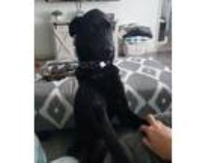 Adopt Toby a Black Labrador Retriever / Australian Shepherd / Mixed dog in