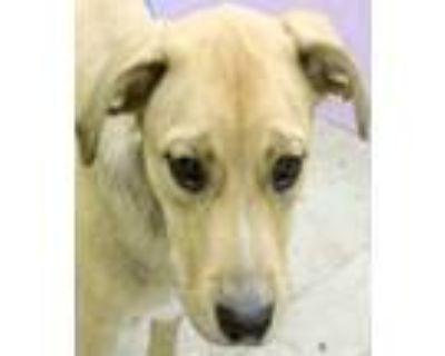 Adopt Alice a Tan/Yellow/Fawn Beagle / Labrador Retriever / Mixed dog in