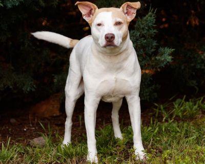 Sadie 10206 - Terrier, American Pit Bull/Mix - Senior Female