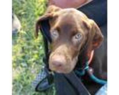 Adopt Lieutenant Dan a Brown/Chocolate Bloodhound / German Shorthaired Pointer /