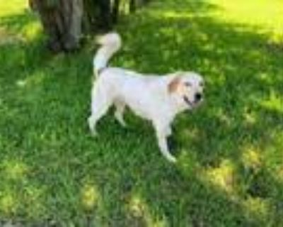 Adopt olaf a White Great Pyrenees / Mixed dog in Joshua, TX (31266230)