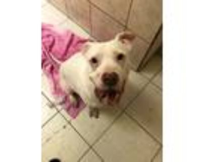 Adopt Hendrick - Left at a fire hydrant a Pit Bull Terrier