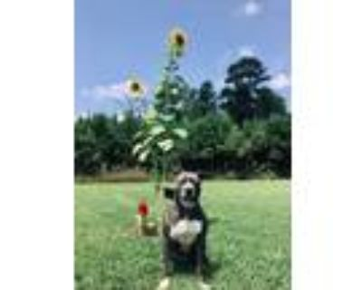 Adopt Sadie a American Staffordshire Terrier, Mixed Breed
