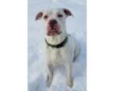 Adopt Angus a White Pit Bull Terrier / Mixed dog in Hastings, MN (32318143)