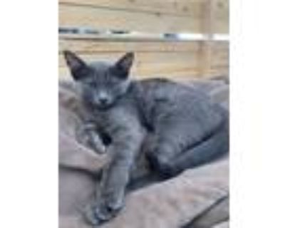 Adopt Ruby & Raf a Gray or Blue American Shorthair / Mixed (short coat) cat in