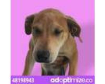 Adopt 48198943 a Brown/Chocolate Retriever (Unknown Type) / Mixed dog in El