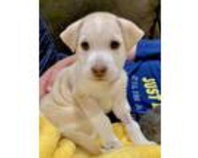 Adopt Chino a Husky, Labrador Retriever
