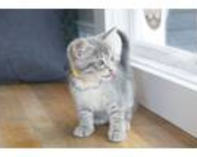 Adopt Nelly a Gray, Blue or Silver Tabby Domestic Shorthair (short coat) cat in