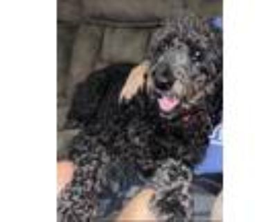 Adopt Titus - Pending Applications (Maxed Apps) a Black Schnauzer (Giant) /