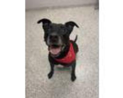 Adopt Buddy Tag 47913594 a Labrador Retriever