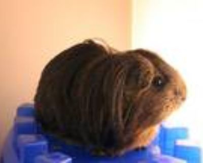 Adopt COCOA a Guinea Pig