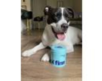 Adopt Oreo a Black - with White American Pit Bull Terrier / Mixed dog in Sandy