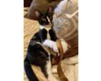 Adopt JuneBug a Black & White or Tuxedo Domestic Shorthair (short coat) cat in