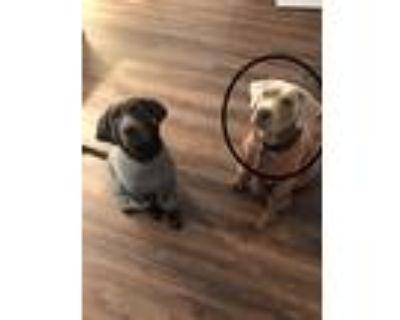 Adopt Bo a Gray/Blue/Silver/Salt & Pepper Labrador Retriever / Mixed dog in