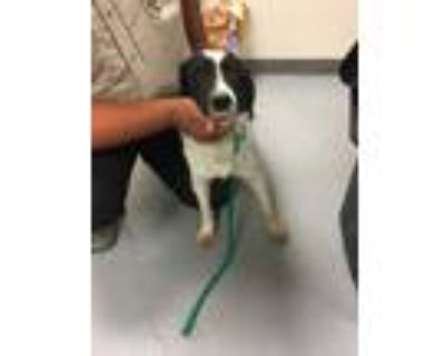 Adopt 47943720 a Black Border Collie / Mixed dog in Los Lunas, NM (31525084)