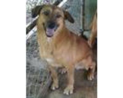 Adopt Trista a German Shepherd Dog / Labrador Retriever / Mixed dog in Ringoes