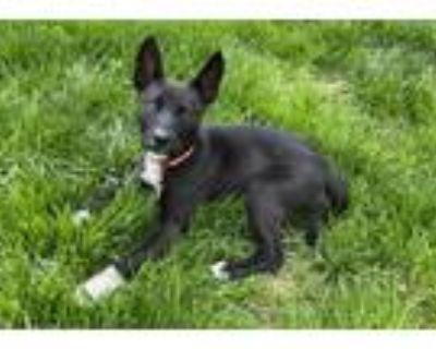 Adopt Kia a Black - with White Labrador Retriever / Shepherd (Unknown Type) /