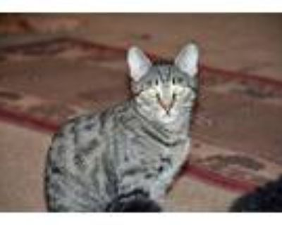 Adopt Witten a Brown Tabby Domestic Shorthair / Mixed (short coat) cat in