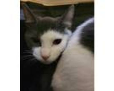 Adopt Mouse a Gray or Blue Domestic Shorthair / Domestic Shorthair / Mixed cat