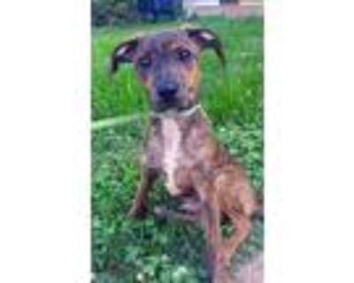 Adopt Feed Store Desi a Feist / Mixed dog in Chantilly, VA (31602533)