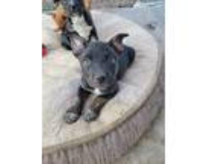 Adopt Ushi a Black Belgian Malinois / Blue Heeler dog in Albuquerque