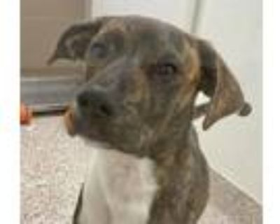 Adopt RALPH* a Pit Bull Terrier, Mixed Breed