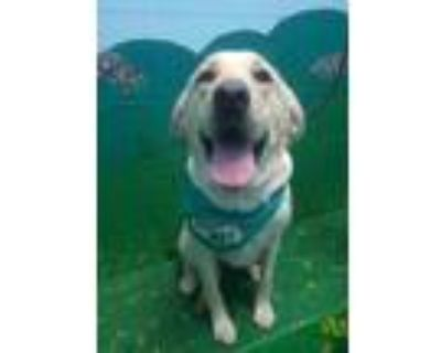 Adopt Goldie Hawn a Tan/Yellow/Fawn Labrador Retriever / Mixed dog in New