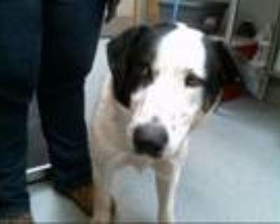 Adopt OBI a Australian Cattle Dog / Blue Heeler, Labrador Retriever
