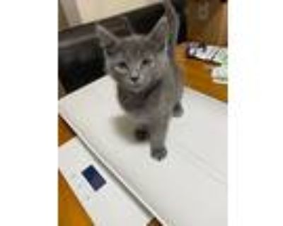 Blue Francis, Russian Blue For Adoption In Los Lunas, New Mexico