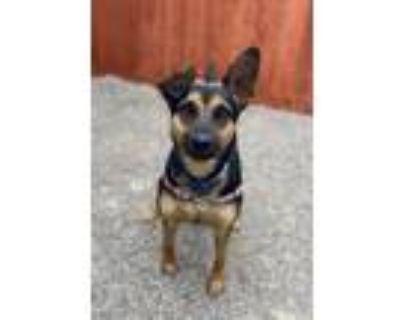 Adopt Ruger a Australian Cattle Dog / Miniature Pinscher / Mixed dog in