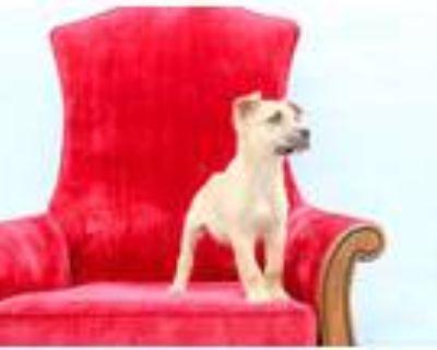 Adopt Saucey a Red/Golden/Orange/Chestnut Border Collie / Catahoula Leopard Dog