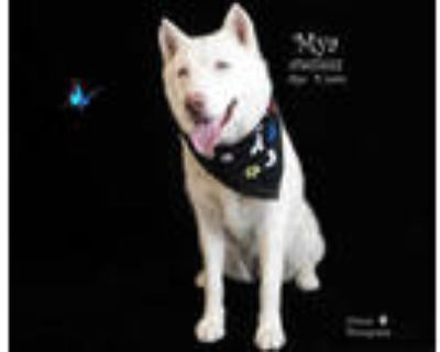 Adopt Dog a White Husky / Mixed dog in Thousand Palms, CA (31626890)