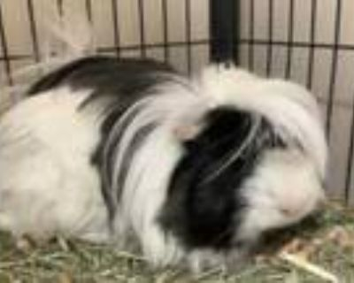 Adopt Jimmy a Black Guinea Pig / Guinea Pig / Mixed small animal in Norfolk