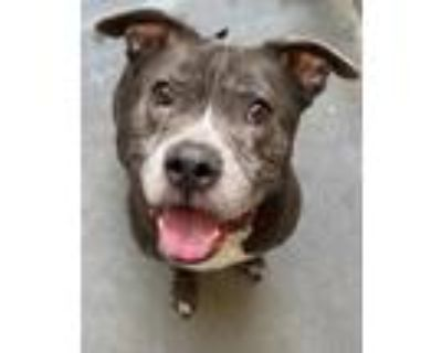 Adopt Sumo a Pit Bull Terrier, Mixed Breed
