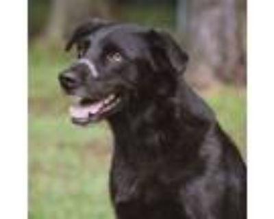 Adopt Beckham a Labrador Retriever, Mixed Breed