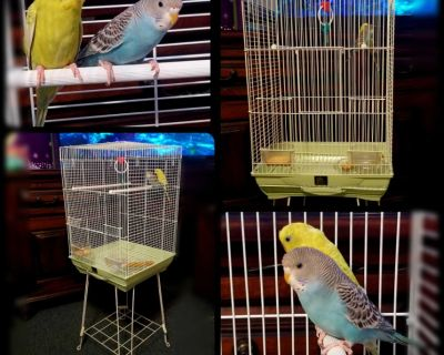 Pair of Australian Parakeets with cage, stand, food/water dishes, & toy. Cage alone was $90