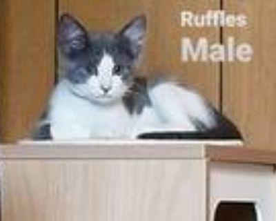 Adopt Ruffles a Domestic Short Hair