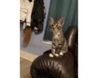 Adopt Runtz & Nala a Tan or Fawn Tabby Ocicat / Mixed (medium coat) cat in
