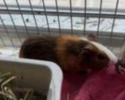 Adopt MIJO a Guinea Pig