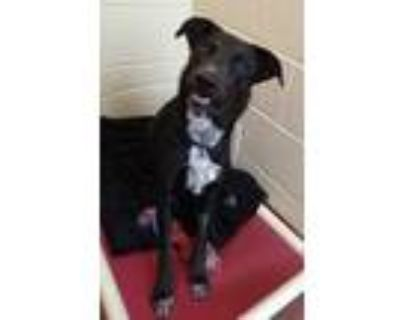 Adopt Apollo a Black Labrador Retriever / Mixed dog in Cheyenne, WY (31651217)