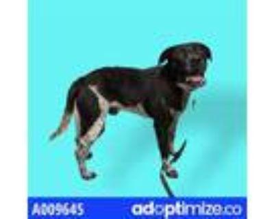 Adopt REMY a Black Labrador Retriever / Mixed dog in Lincolnton, NC (31487404)