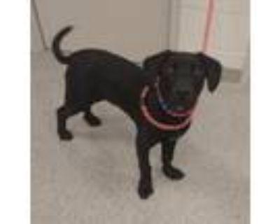 Adopt Max a Labrador Retriever, Mastiff