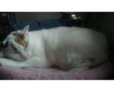 Adopt Iris a Calico or Dilute Calico Domestic Shorthair (short coat) cat in Dale