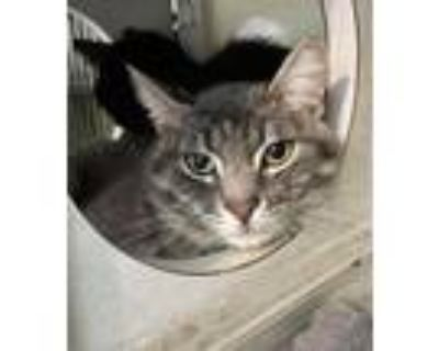 Adopt Dickens a Domestic Shorthair / Mixed cat in Colorado Springs