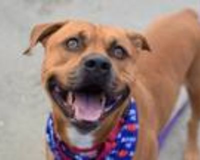 Adopt Tonka a Red/Golden/Orange/Chestnut - with Black Pit Bull Terrier / Mixed